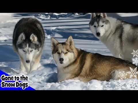 Top 10 Siberian Husky Videos of 2017 | Year in Review 2017 Top Moments
