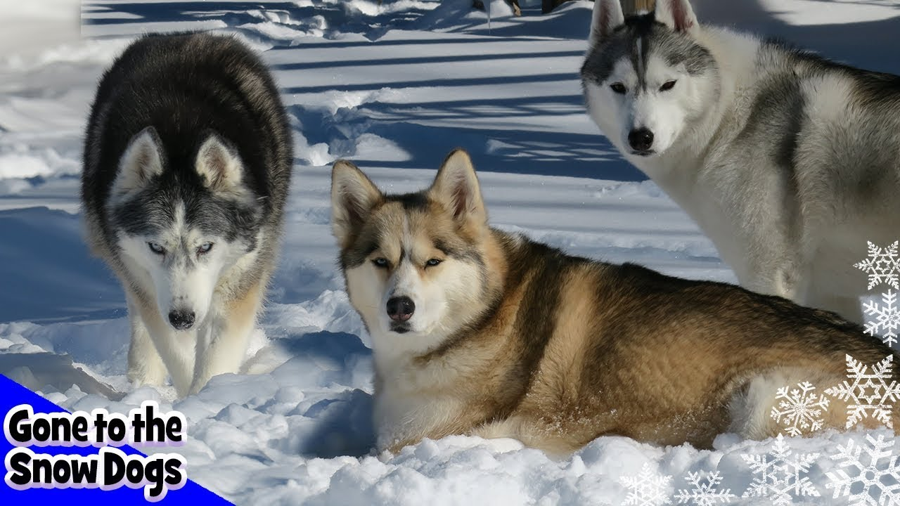 Top 10 Siberian Husky Videos Of 2017 Year In Review 2017 Top