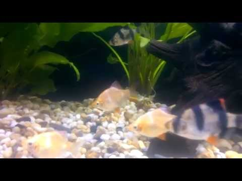Community Tank Tiger Barbs Rasbora Rummy Nose Albino Bristlenose Catfish