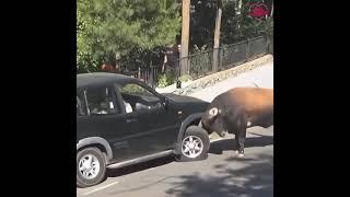 Ни один бык не пострадал.