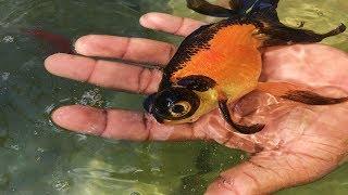 cmo-saber-si-tu-pez-goldfish-est-enfermo