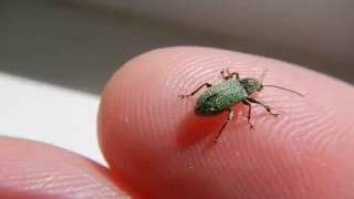 Gambar cover Долгоносик Зелёный Листовой Curculionidae Polydrusus formosus