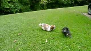 Toy Schnauzer &  Shih-tzu Playing
