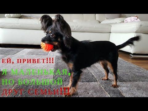 Моменты из жизни Русский Той-Терьер длинношерстный Ева / Momente aus dem Leben  Toy Terrier Eva