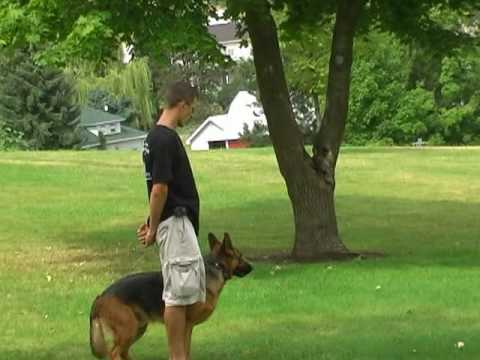 Obedience training for German Shepherd - German Shepherd trainer