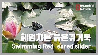 헤엄치는 붉은귀거북 Swimming Red-eared …