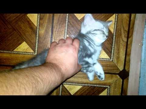 Котенок спит (Британский котенок) вискес цвет