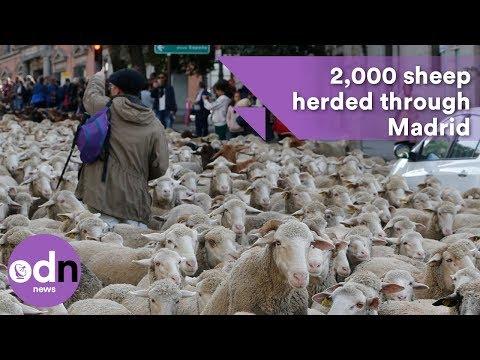 Flocking insane! 2,000 sheep herded through Madrid