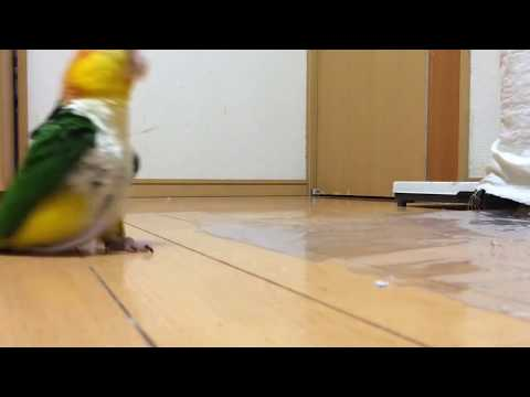 funny-parrot-stomping-around-like-its-mad.-full-hd-best-video!!
