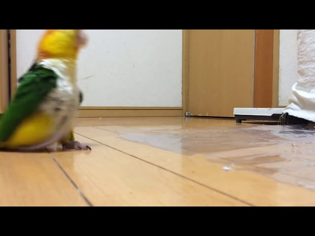 Funny parrot stomping around like its mad. Full HD best video!!