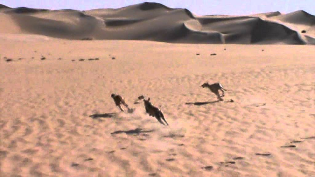 Desert hunting by saluki (9) - YouTube