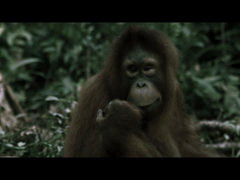 Orangutan Extinction