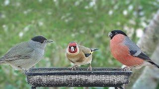 Schöne Vögel - Gimpel, Stieglitz, Mönchsgrasmücke, Blaumeise, Rotkehlchen