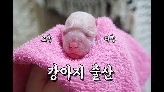 강아지 출산 :: 아가 출산하다!