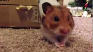 The Hamster Maze Race!