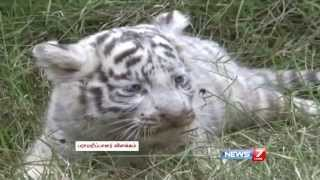 Playful white tiger cubs in China - NEWS 7 TAMIL