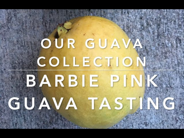 Our Guava Collection + Barbie Pink Guava Tasting