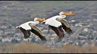 Семейство пеликанов. Документальный фильм.