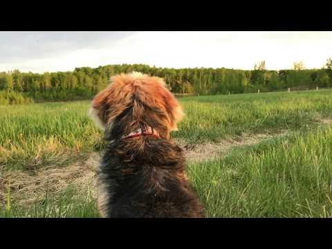 Sunset Prairie - Basset Griffon Vendéen PBGV