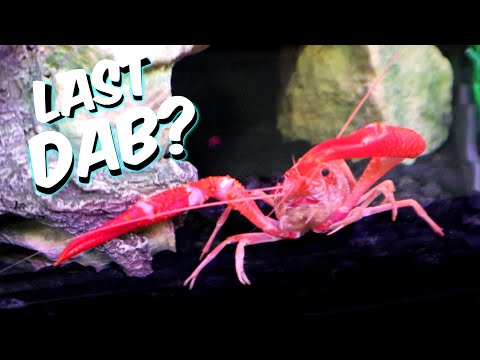 Molting Crayfish ? Or DEAD Crayfish ?