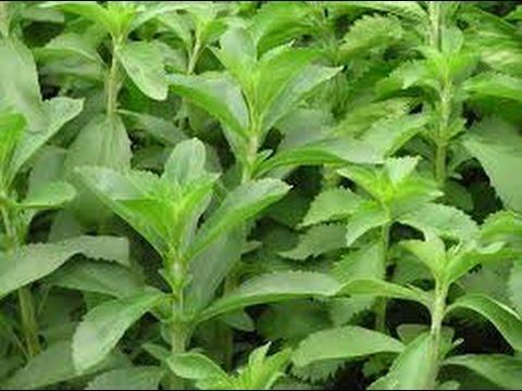 Cultivo de Stevia, Endulzantes Naturales con Futuro - TvAgro por Juan Gonzalo Angel