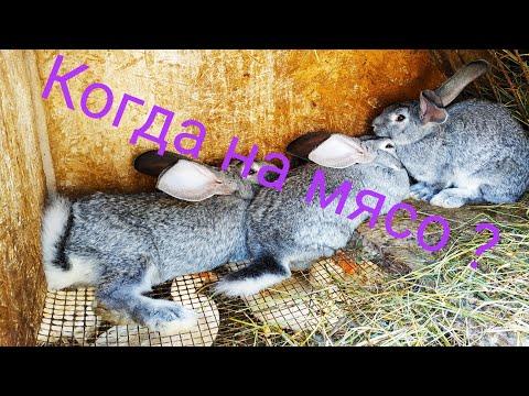 Вопрос: Как вырастить кролика на мясо?