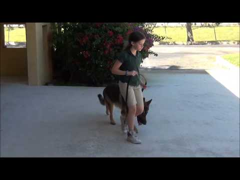 Fort Lauderdale Dog Training   German Shepherd 'Bear'