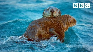 Otters band together to survive collapsing glacier ice | Spy In The Wild - BBC