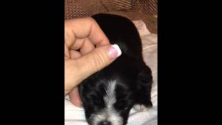 Pomeranian, Poodle, Maltese, Yorkie Mix Puppies - Day 14