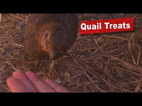 organic-treats-for-coturnix-quail-and-hand-feeding!