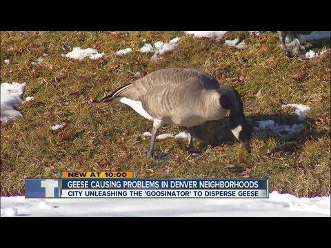 Geese causing problems in Denver neighborhoods