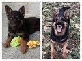 German Shepherd Growing Up/ Barking (6 Weeks - 1 Year)