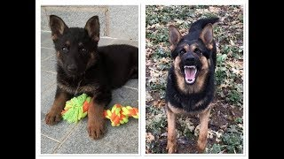 German Shepherd Growing Up/ Barking (6 Weeks - 1 Year)