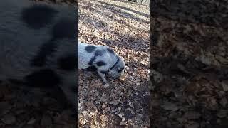 Babe le cochon se fait chiper son pain