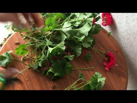 Как посадить герань без корней