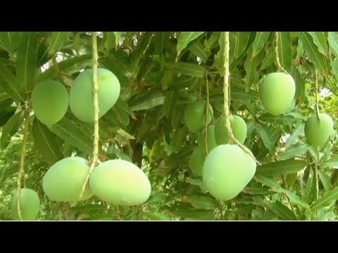 Starting a Business - Mango Farm Maintenance and Mango Tree Smart Farming Business Plan