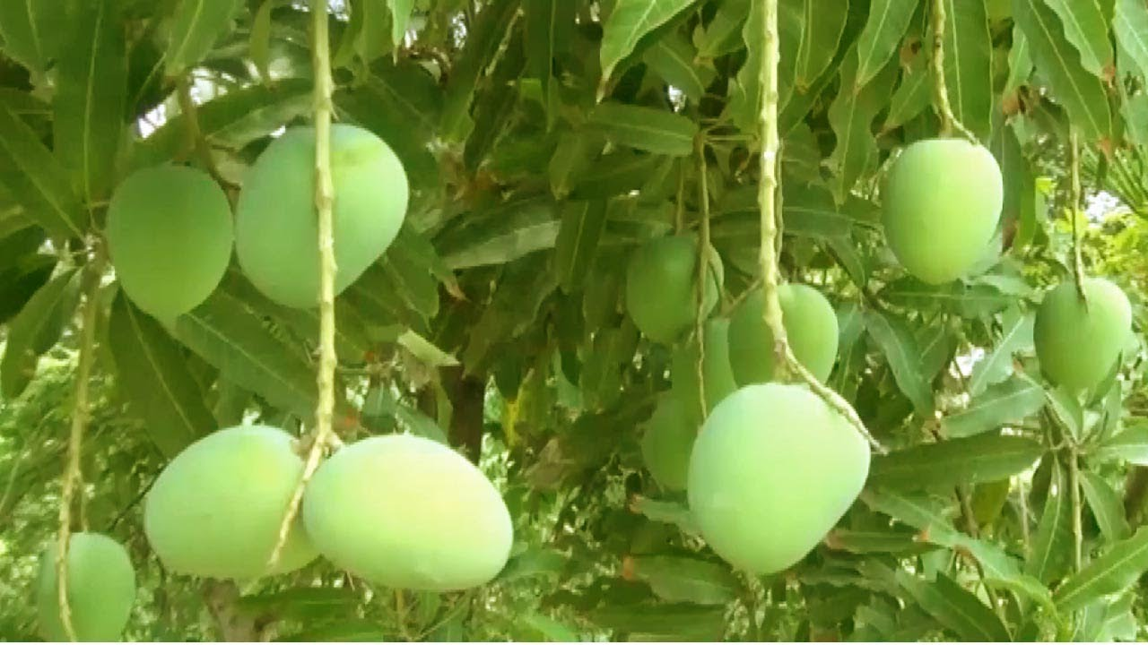 Mango farming business plan