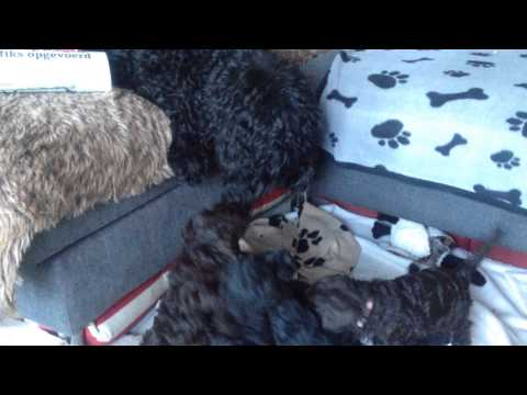 The happy morning hour with the barbet puppies