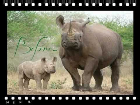 Real Rhinos - before and after - South Africa Rhino Poaching crisis