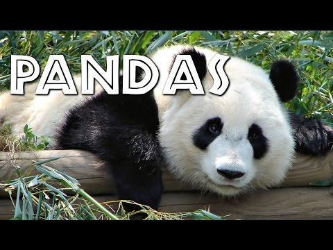 Thumbnail: All About Pandas for Kids - FreeSchool