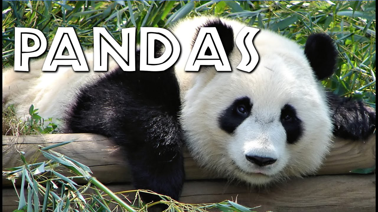 all about pandas for kids freeschool youtube
