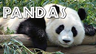 All About Pandas for Kids - FreeSchool