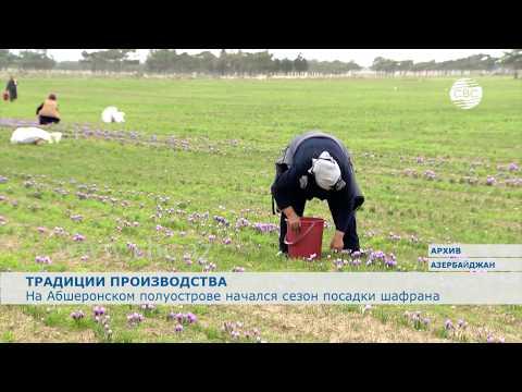 На Абшеронском полуострове начался сезон посадки шафрана