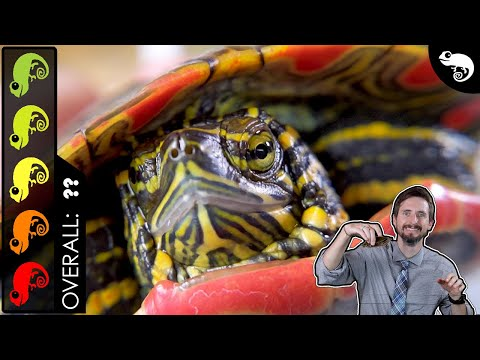 Painted Turtle, The Best Pet Turtle?