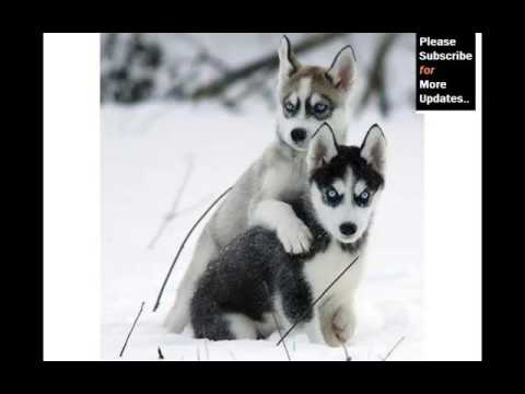 Types Of Husky Dogs | Set Of Cute Dogs And Puppies Pictures