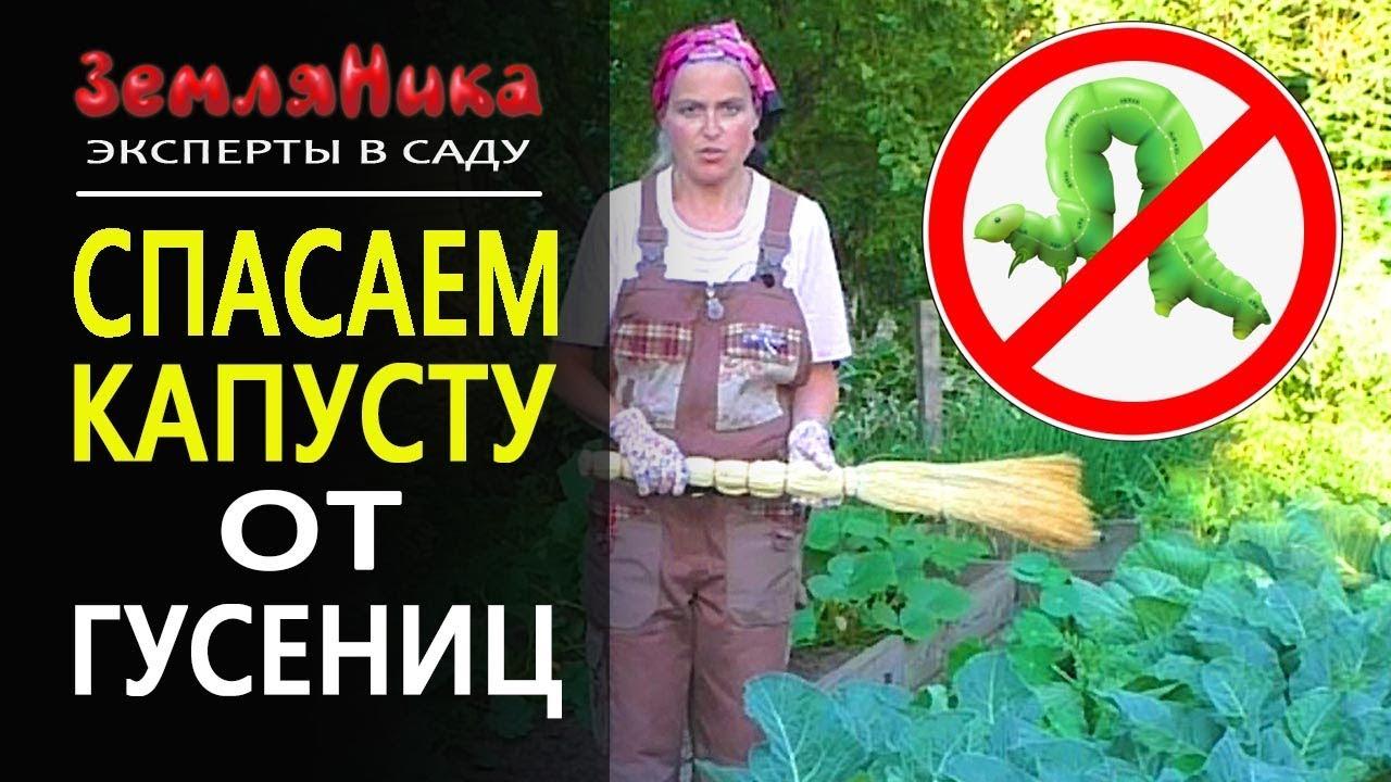 Как избавиться от гусениц. Спасаем капусту народными средствами. 0+