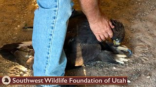 Eagle Found Lifeless but Still Breathing