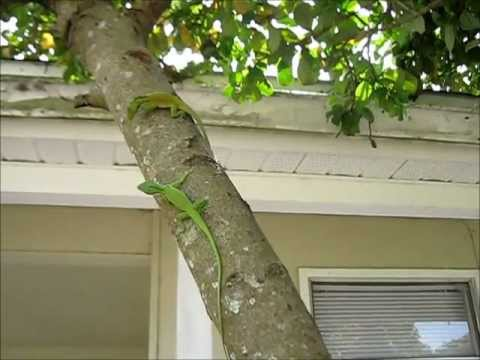 Green Anole Eggs