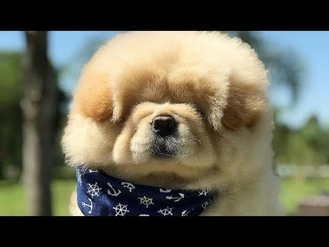 Cute Chow Chow - Chow Chow Puppy - Chow Chow - Chow Chow Dogs compilation #2