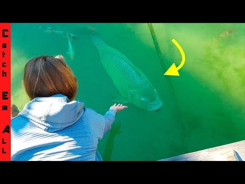 WORLD RECORD TILAPIA PET FISH!